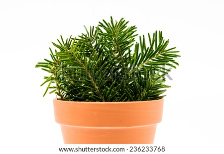 Fir branches in a clay pot isolated on white background