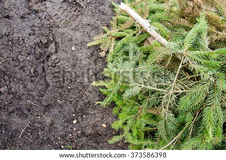fir branches on the ground. Green lush spruce branch. Fir branch.  Fir-tree. Fir  Christmas Tree Branch with rain drops close up. Fir tree branch background close up - stock photo