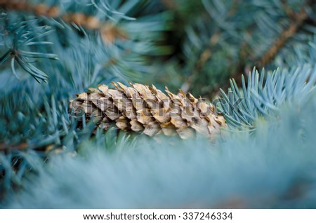 Fir cone on a branch. Coniferous tree. The needles on the branch. Green spruce, pine, fir. Resin on a lump. Evergreen trees - stock photo