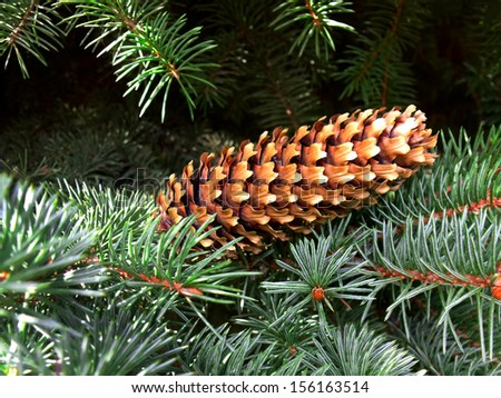 Fir cone on the background of fir branches - stock photo