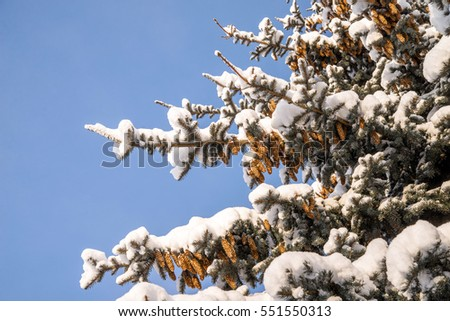 fir cones on branches covered with snow against the blue sky