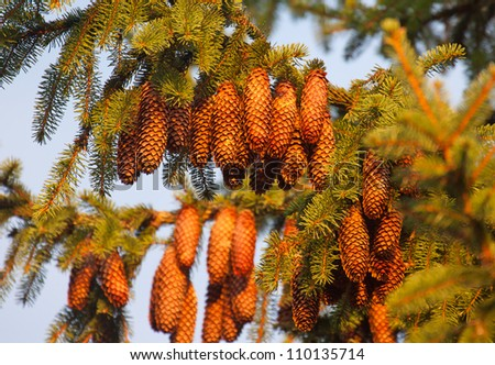 Fir cones on tree - stock photo