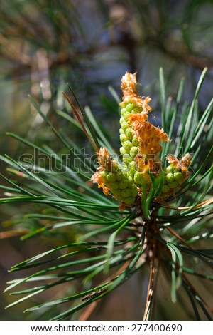 Fir cones young  - stock photo