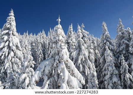Fir forest covered in winter snow