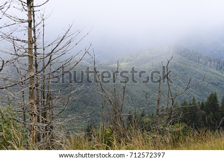 Fir forest on the slopes of the mountains. Overcast weather, fog. Carpathians, Ukraine.