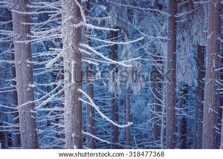 Fir forest. Winter landscape with snow. Beauty in nature - stock photo