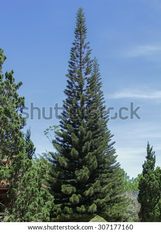 Fir in a pine forest - stock photo