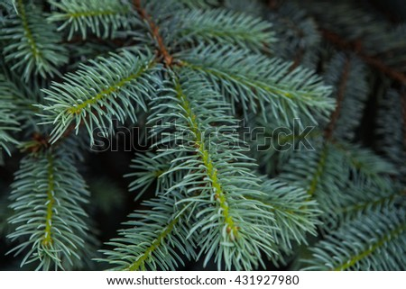 fir pinetree background texture/ close up pine tree/ green pine tree pattern
