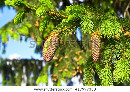 Fir tree branch and cones - stock photo