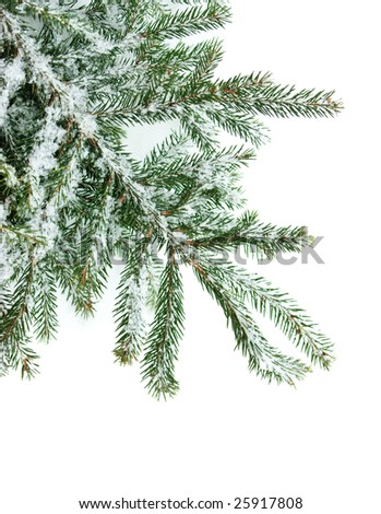 Fir tree branch covered with snow on white background - stock photo