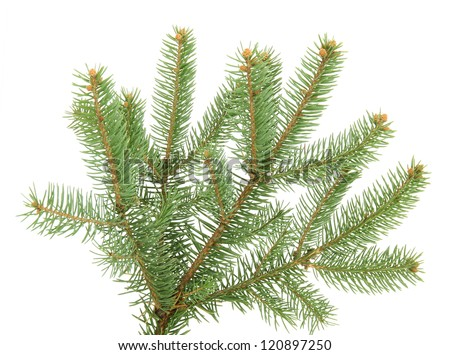 fir tree branch, isolated on white - stock photo