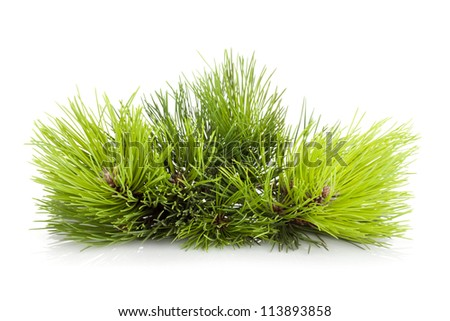 Fir tree branch. Isolated on white background - stock photo
