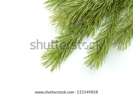 Fir tree branch. Isolated on white background