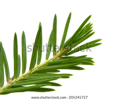 Fir-tree branch  isolated on white background