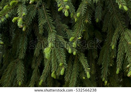 Fir tree branch with young needles.