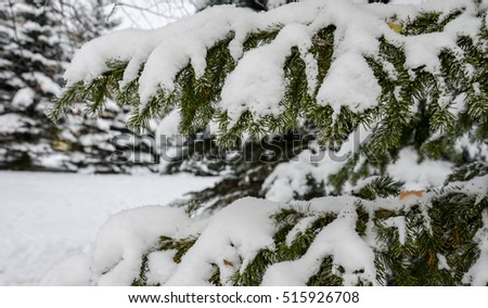 Fir tree branches covered by snow