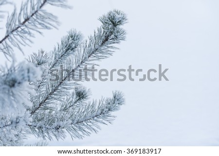 Fir tree branches in snow