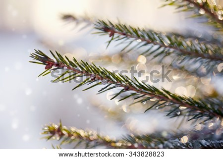 Fir-tree branches in the stiffened drops of ice sparkle in sunshine.
