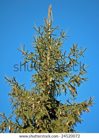fir tree branches with cones