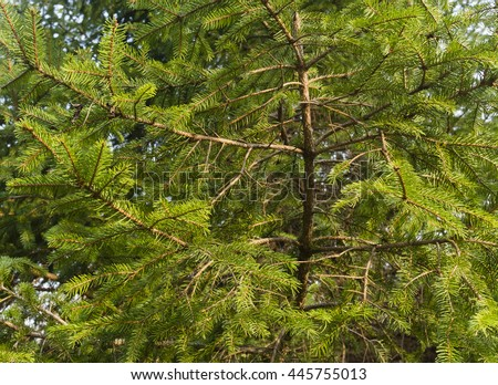 Fir tree closeup