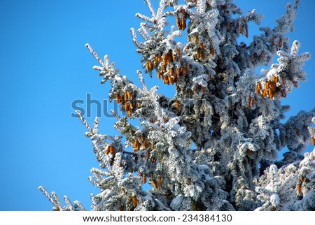 Fir tree in snow above blue sky - stock photo