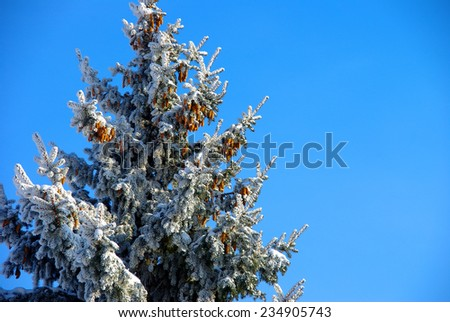 Fir tree in snow above blue sky