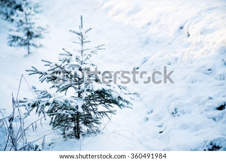 Fir tree in winter. Frost and snow