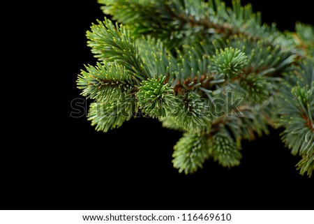 fir-tree on the black background - stock photo