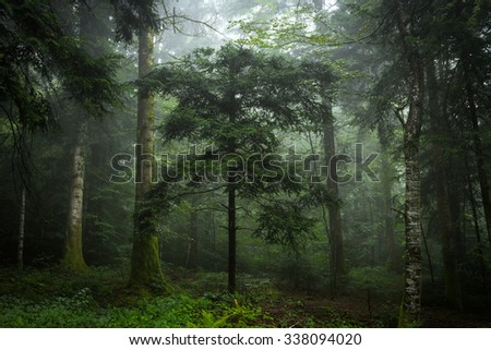 Fir tree with mist