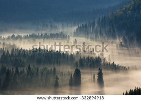 fir trees on a meadow down the will  to coniferous forest in foggy mountains - stock photo