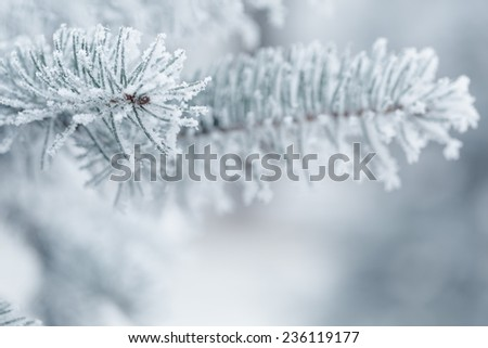 fir twigs covered with hoarfrost, copy space