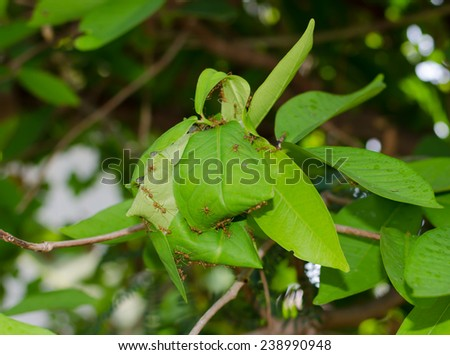 fire ants - stock photo
