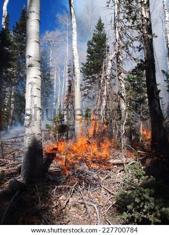 Fire burning in an aspen and fir forest. - stock photo