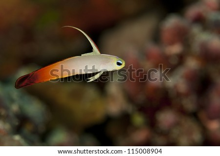 Fire Dartfish (Nemateleotris magnifica) on a tropical coral reef off the island of Palau in Micronesia.