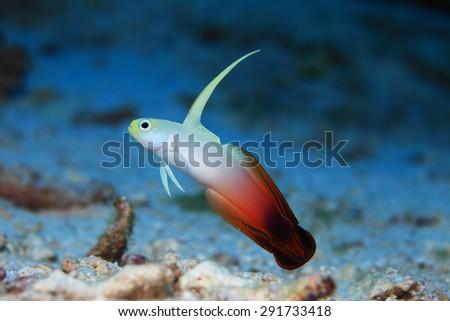 Fire goby (Nemateleotris magnifica) in the indian ocean  - stock photo