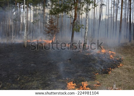 Fire in spring pine forest, burning trees and grass . - stock photo