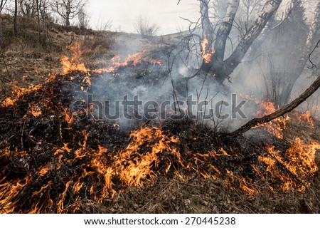 Fire in the mixed wood forest. Forest fire.  - stock photo