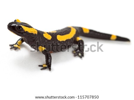 fire salamander bright colored amphibian and poisonous animal with warning colors terrestrial newt salamandra - stock photo