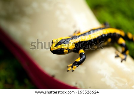fire salamander salamandra closeup in forest outdoor detail yellow green  - stock photo