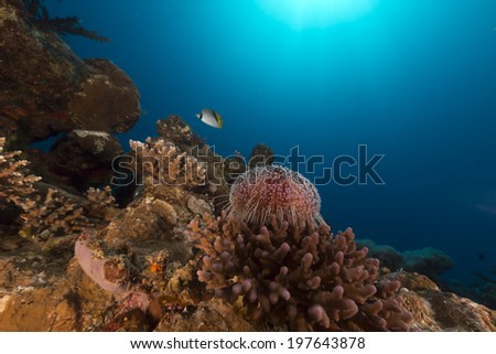 Fire urchin in the Red Sea - stock photo