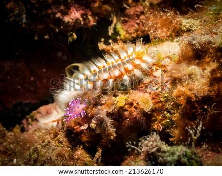 Fire worm & purple nudibranch - stock photo