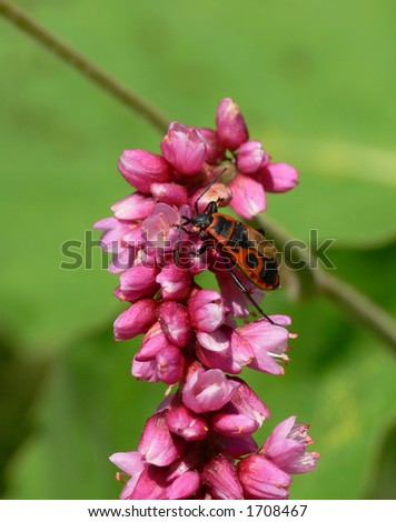 "Firebug on the ""Lady's thumb"" (Polygonum persicaria) inflorescence"