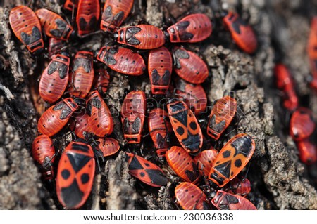 Firebug red insect colony on tree trunk bark. Nature macro. - stock photo