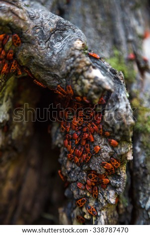 Firebug red insect colony on tree trunk bark. Nature macro. - stock photo