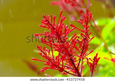 Firebush plant and  raining with blurry background