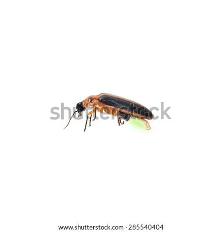 Firefly isolate on white background (BUG) - stock photo