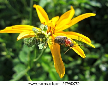Firefly sitting on yellow aster flower petals. - stock photo