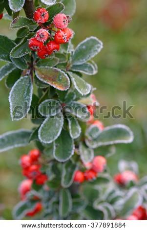 Firethorn, a bushy shrub with reddish stems and glossy dark green leaves.  - stock photo