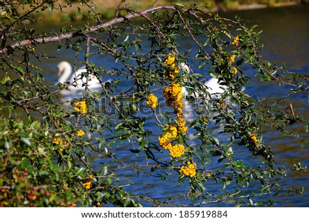 Firethorn bush with yellow berries above the lake and couple of  white swans at backgrounds. - stock photo