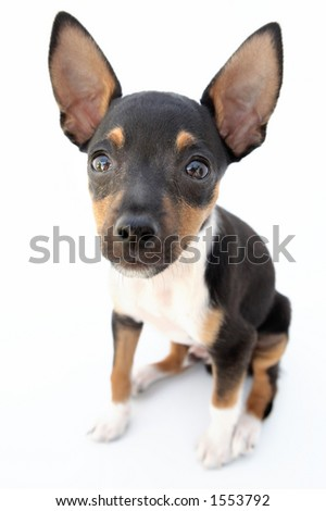 firings of a dwarfed dog that can be amused - stock photo